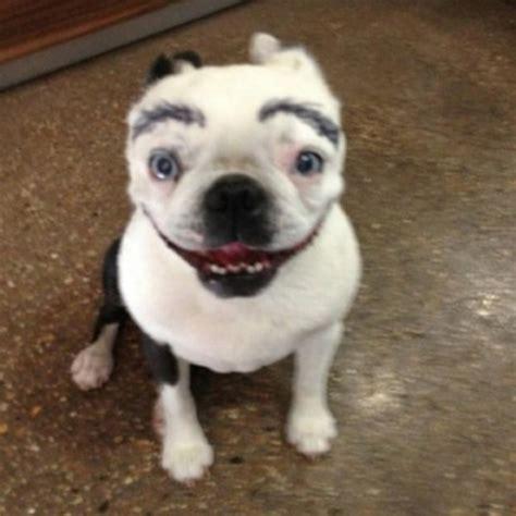 lustige bilder von hunden mit augenbrauen tiere pictures
