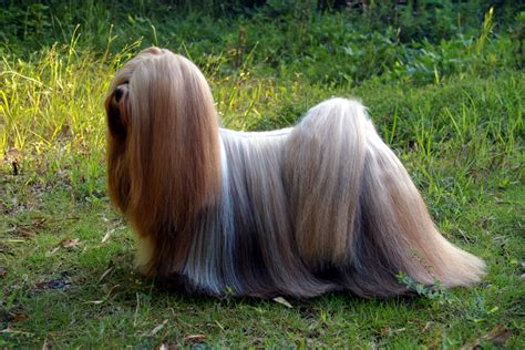 my lhasa apso is shedding hair list of dogs that don t shed much what every deserves