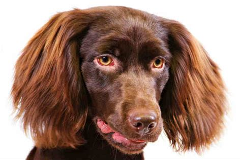 boykin spaniel shed boykin spaniel breed information american kennel club