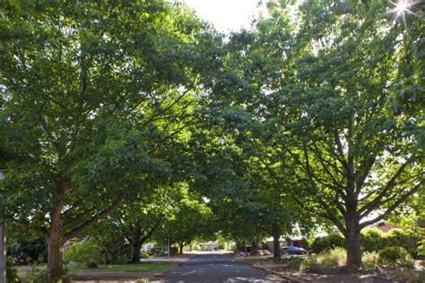 oak australia protected red oak trees quercus rubra in downer act abc news australian broadcasting