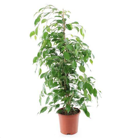 plantes verts d interieur ficus benj exotica tress 233 h90 100cm d20cm plantes vertes d int 233 rieur jardinerie truffaut