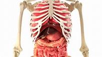 Lidské tělo a vnitřní orgány v rotaci smyčky — Video ...