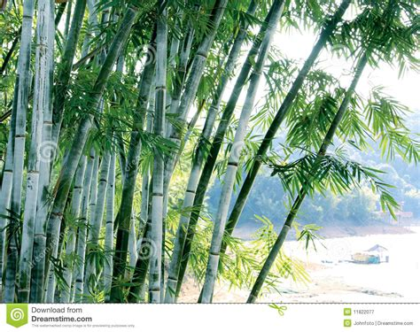 green bamboo tree stock image image  green nature