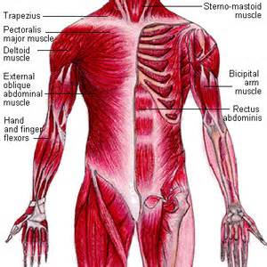 human muscular system diagram – lickclick, Muscles