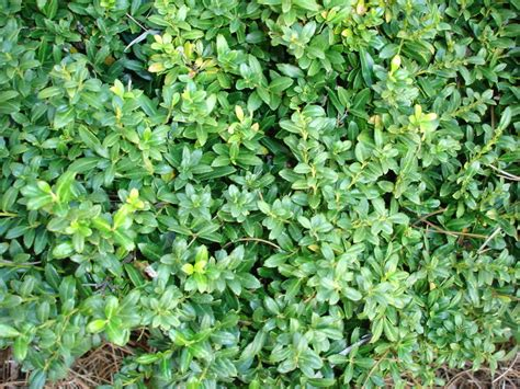Shrubs Types And Types Of Bushes For Landscaping