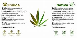 The Ultimate Guide On Indicas Vs  Sativas