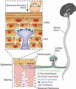 Keratinocytes Mediate Innocuous And Noxious Touch Via Atp