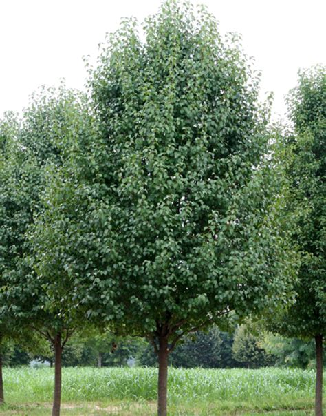 Pyrus calleryana bradford - Care Transplanters - Sunshine ...
