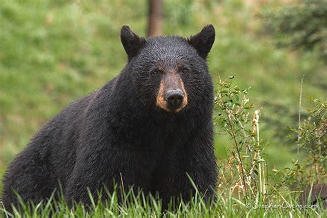 black bear   yellowstone national park  lamar