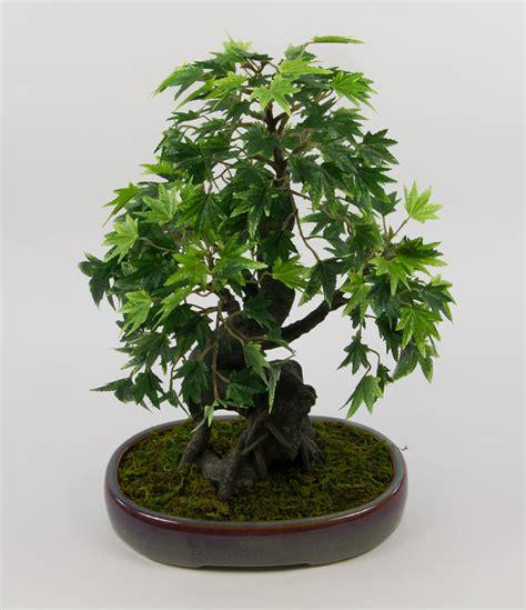 Botanischer Garten Wien Bonsai by Japanischer Ahorn Bonsai Japanischer Ahorn Bonsai