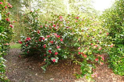 what to plant with camellias camellia japonica great eastern plants oak leaf gardening