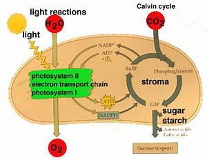 Photosynthesis Light Reaction Simple Diagram