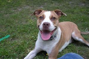 Brown Black And White Pitbull Dogs Pictures to Pin on ...