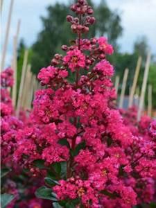 Taille Du Lilas Des Indes : lilas des indes 39 fuchsia d ete 39 indyfus 39 lagerstroemia ~ Nature-et-papiers.com Idées de Décoration