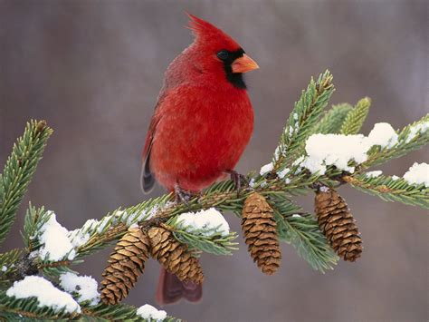 watching red birds