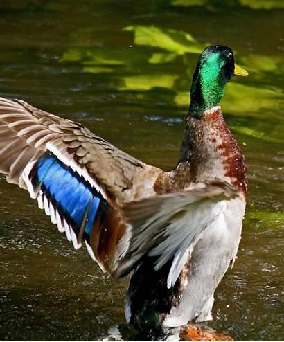 Mallard Speculum Feathers Wikipedia Espejuelo Spiegel Specchio