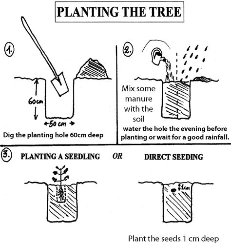 how to plant a tree how to grow moringa cultivate plant moringa oleifera trees