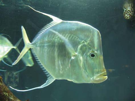 moonfish fish carangidae  menidae families