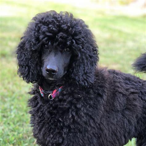 medium poodle breeder moyen poodle breeder