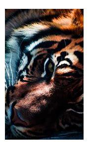 Tiger Closeup Wallpapers   HD Wallpapers   ID #16031