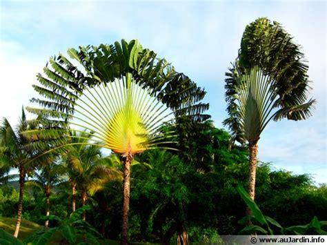 arbre du voyageur ravenala madagascariensis conseils de