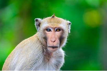 Monkey Am Dream Meaning Dictionary Animals Meanings