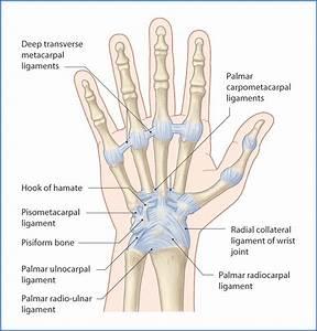 Photos: Anterior And Posterior Wrist, - Anatomy Diagram Charts
