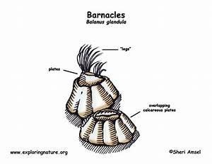 Barnacle  Balanus