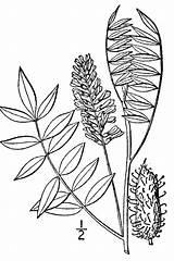 Plants Glycyrrhiza Lepidota Licorice Drawing Plant American Usda Line Gov Symbol sketch template