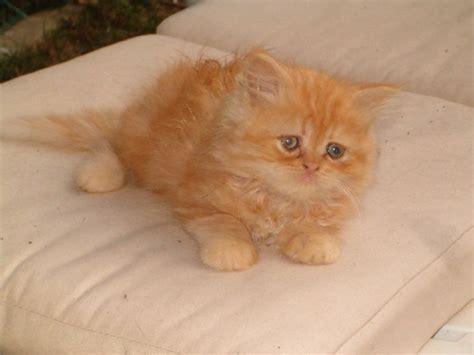 foto persiani gatti persiani petpassion