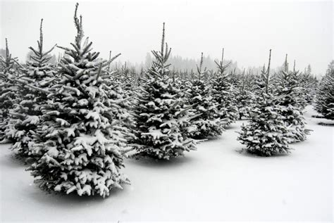 best christmas tree farms in washington state 5 windbreak trees that will you away