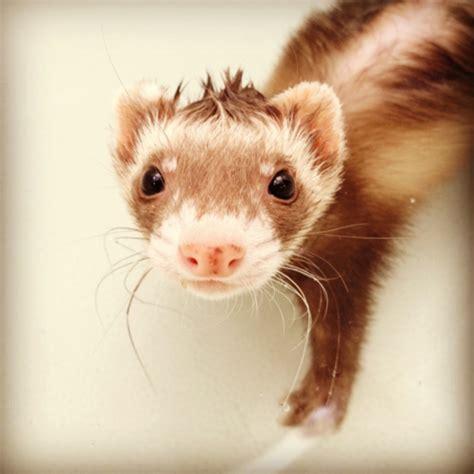 squeaky clean ferret weird animals pet rodents ferret