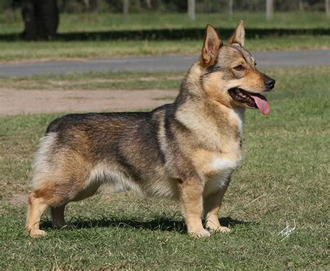 swedish vallhund    german shepherd   baby