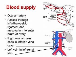 Gross anatomy of female internal genitalia - ppt video ...