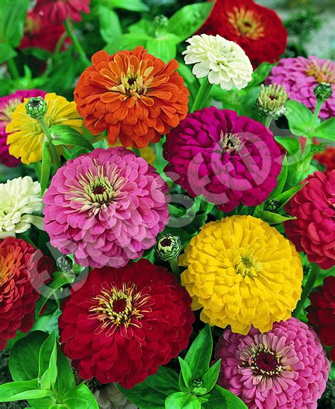 zinnia dahlia zinnia dahlia flowered gold medal mix eden seeds