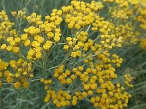Herbe à Curry Toxique : l 39 immortelle h lichrysum d 39 italie nature gastronomique et m dicinale ~ Melissatoandfro.com Idées de Décoration