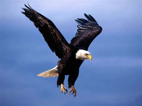american bald eagle quotes quotesgram