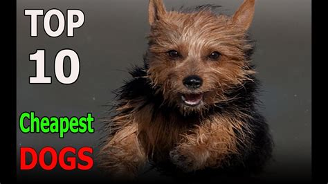 Top 10 Cheapest Dog Breeds  Top 10 Animals  Youtube. Practitioner Nurse Salary Moving To Nashville. Advertising Agency Jakarta First Smile Dental. Costco Merchant Services Pricing. Management Of Information Security. Chiropractor In Florida The Help Desk Company. Mcguff Pharmaceuticals Inc Medium Hair Color. Immigration Lawyers In Kansas City Mo. Insurance For Catering Business