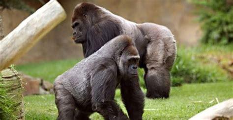 gorilas viven grupo epjpg