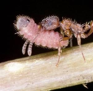 Was Essen Ameisen : was fressen ameisen ameisen fressen insekten youtube was ~ Lizthompson.info Haus und Dekorationen