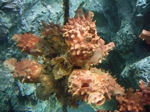 Halocynthia roretzi (Sea squirt) (Cynthia roretzi)