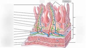 Diagram Small Intestine Cross Section