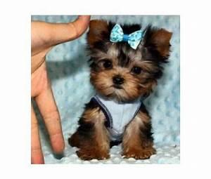 Teacup Yorkie Puppies-Dad 2.5 lbs Mom 4 lbs-Micro Tiny ...