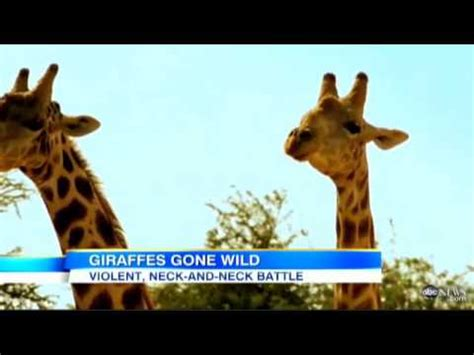 the Most Violent Giraffe Fight Ever (DiscoveryChanel) [ABC ...
