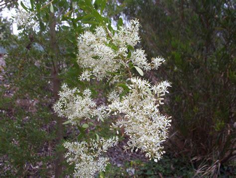 bursaria spinosa christmas bush mallee native plants