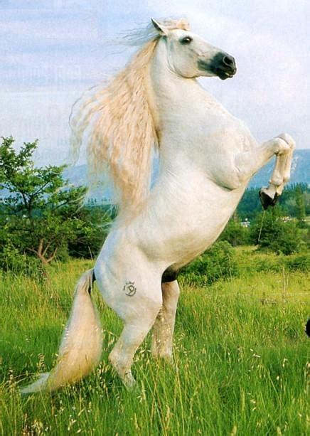 photo de cheval blanc qui se cabre  de nature