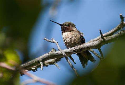 hummingbird migration ruby throated hummingbird migration