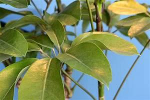 Oleander Hat Gelbe Blätter : schefflera hat gelbe bl tter woran liegt 39 s ~ Lizthompson.info Haus und Dekorationen
