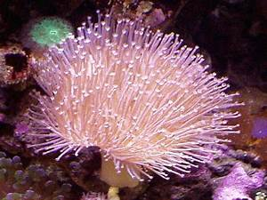Toadstool Mushroom Leather Coral (sarcophyton sp ) Photos