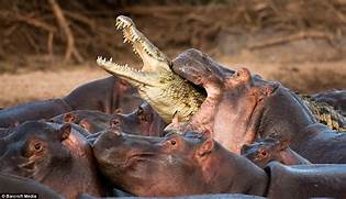 taking a foolish shortcut across a herd of hippos   Daily Mail Online  Hippopotamus Eating People